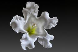 Beaumontia Grandiflora - Easter Lily Vine#1