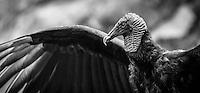 A Black Vulture at Iguazu Falls dries its wings after a flight over the falls.