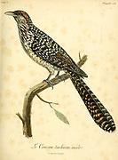 Coucou tachirou from the Book Histoire naturelle des oiseaux d'Afrique [Natural History of birds of Africa] Volume 5, by Le Vaillant, Francois, 1753-1824; Publish in Paris by Chez J.J. Fuchs, libraire 1799