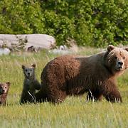 Alaskan Brown Bear mother and cubs. Alaska
