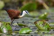 Blaustirn-Blatthühnchen (Actophilornis africanus) in den Mabamba Sümpfen, Lake Victoria, Uganda<br /> <br /> African jacana (Actophilornis africanus), Mabamba swamps, Uganda