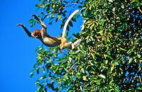 Proboscis Monkey (Nasalis larvatus) juvenile leaps from a tree..Kinabatangan Wildlife Sanctuary, Sabah, Malaysia, Borneo.