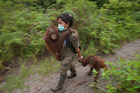 A keeper at IAR walks with a group of juvenile orangutans <br />