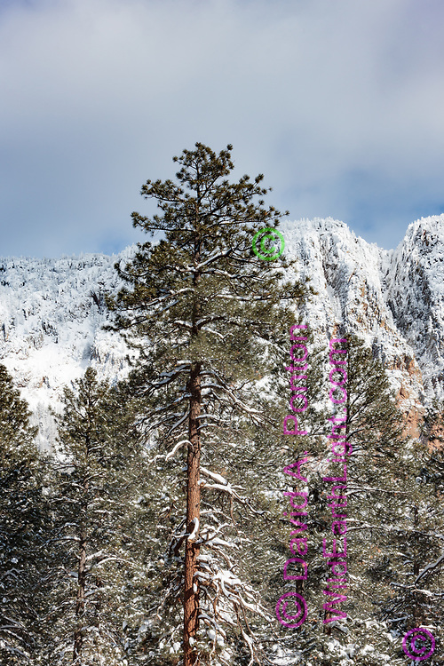 Ponderosa pine tree sets off fresh snow on the Brazos Cliffs, New Mexico, © David A. Ponton