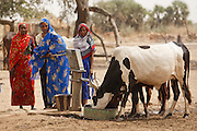 Women use a hand pump to give cattle water in the village of Fadje, Chad, on Friday February 10, 2012.
