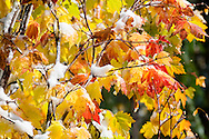 Maple leaves red and yellow fall colors with snow on branches