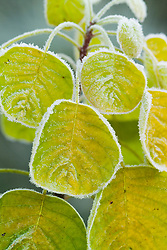The leaves of Cotinus coggygria 'Golden Spirit' syn. Rhus cotinus rimed with frost. Smoke bush