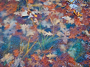 Autumn leaves frozen in ice along a trail in the Seine River Forest<br />Winnipeg<br />Manitoba<br />Canada