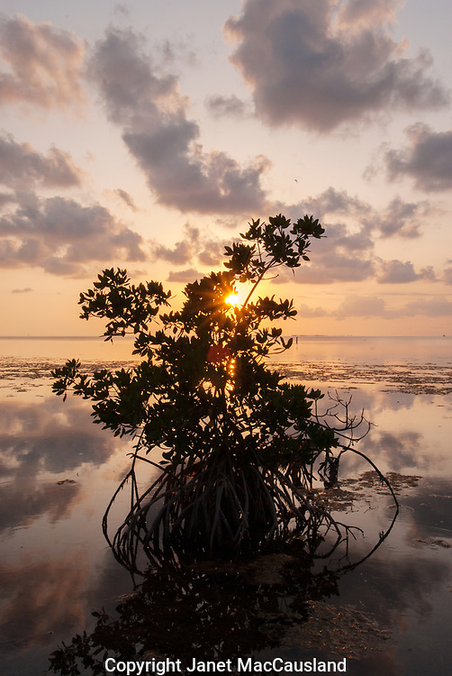 The sun is setting behind a Red Mangrove shrub, Florida Keys. The colors transform from Orange and reds to pastel pink and blues in a few minutes. The mangroves are important storm buffers and provide habitat for many birds and underwater communities.