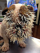 No, her name's not Spike! Bulldog left with FIVE HUNDRED quills stuck in her face after run in with a porcupine<br /> <br /> Bella Mae, a three-year-old bulldog from Oklahoma, learned a lesson she probably won't forget after she tangled with a porcupine and was left with 500 quills stuck in her face. <br /> Veterinarians in Norman undertook emergency surgery on her to remove the prickly spines from her head and her feet.<br /> Some of the quills are still inside her body, veterinarians believe, though she is now recovering from the attack. <br /> <br /> Jerry and Allison Noles toldKWTV the bulldog was playing with their other pets near their pond on July 29, when they encountered an ambling porcupine.<br /> The bristly rodents are typically nocturnal, slow and passive.<br /> The Noleses believe the porcupine visited their pond to drink because water is becoming scarce in Oklahoma. <br /> They think Bella Mae got a little too close for comfort and provoked the animal's ire -- prompting the prickly attack. <br /> Doctors at the Animal Emergency Center worked on the operating table to dig the quills out of the bulldog's face, neck, legs and chest.<br /> The lucky pooch was not hit in the eyes.<br /> Veterinarian Leonardo Baez told KWTV he has never seen such a horrific porcupine attack against a pet before. <br /> 'I've seen some greyhounds and bird dogs come in (contact) with them, but it's not very often it happens, especially here in the city,' he said. <br /> Bella May remains on antibiotics because of the quills remain embedded in her skin, where veterinarians could not dig them out.<br /> ©Animal Emergency Center/Exclusivepix