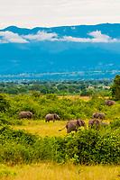 Elephants, Queen Elizabeth National Park, Uganda.
