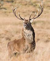 Red Deer stag in long grass, Cervus elaphus, Cheshire, October