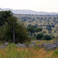 Africa, Kenya, Masai Mara. Grazing zebra herd in the Mara.