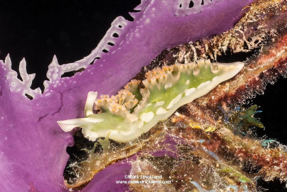 Lettuce Slug, Elysia crispata, gliding across the base of a fan coral. Bahamas, Atlantic Ocean