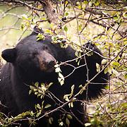 A bear feeding upon black berries in Grand Teton National Park.