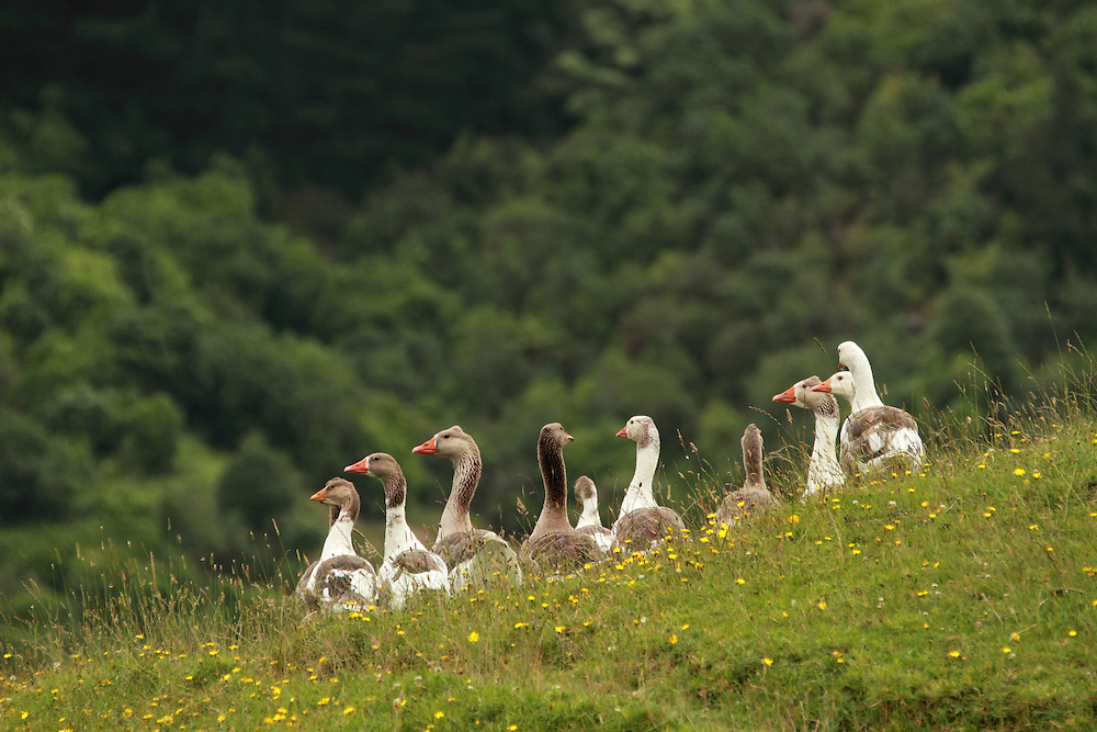 Wild geese appreciate the safety of Black Sheep Animal Sanctuary to live and feed. Near Wellington, New Zealand