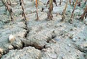 Italie, Umbrie, augustus 2001Door droogte gebarsten landbouwgrond met uitgedroogde maisplanten. Milieu, klimaatverandering,Foto: Flip Franssen
