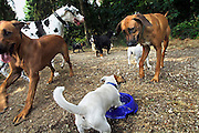 Nederland,Nijmegen, 26-7-2006..Hondenuitlaatservice. Vanwege het warme weer gaat men niet te lang wandelen met de honden, maar wordt op een plek gerust en water aangeboden aan de dieren. kleine zelfstandige ondernemer, berdijf, kleinbedrijf...Foto: Flip Franssen/Hollandse Hoogte