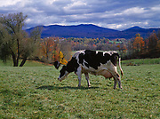 Holstein milk cow on the Otter Meade Farm, Florence, Vermont.