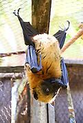 Madagascar, Flying Fox (Pteropus rufus) bat