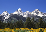 Grand Teton National Park with Yellow wildlowers in foreground