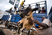 Men unloading sheep and goats from a truck in Tamale, Ghana on Sunday June 3, 2007.