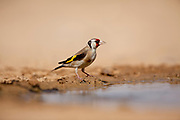 European goldfinch (Carduelis carduelis) Near water. These birds are seed eaters although they eat insects in the summer. Photographed in the negev Desert, Israel in June