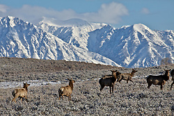 Elk migrating below the Grand Tetons after a fresh spring snow.
