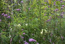 Indigofera pendula with Verbena bonariensis and Cobaea pringlei