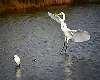 Great Egret and Snowy Egret. Black Point Wildlife Drive, Merritt Island National Wildlife Refuge. Image taken with a Nikon Df camera and 300 mm f/4 lens (ISO 100, 300 mm, f/4, 1/2000 sec).