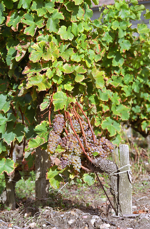 Semillon grapes with noble rot on a wine very full with bunches   at harvest time  Chateau Raymond Lafon, Meslier, Sauternes, Bordeaux, Aquitaine, Gironde, France, Europe