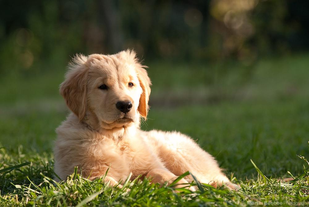 An 11-week-old golden retriever puppy lies in the grass