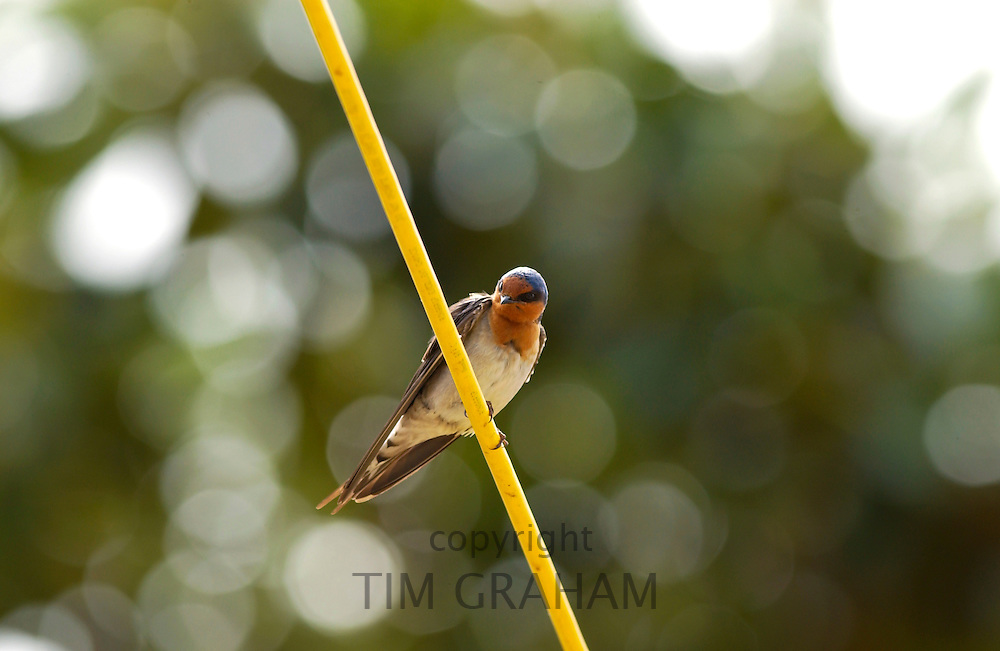 Swallow on telegraph cable, Waiuku,  in North Island, New Zealand