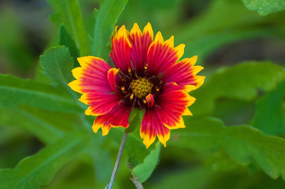A brilliantly colored Indian blanketflower unfurls on a warm, bright spring morning on Florida's Sanibel Island.