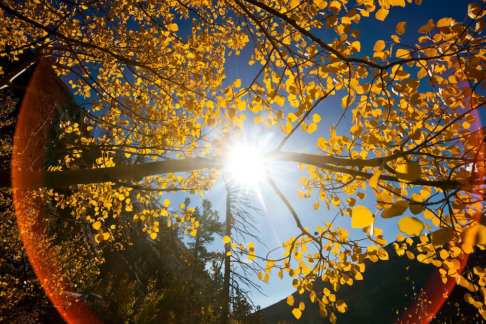 Branch of a quaking aspen (Populus tremuloides) backlit by the sun above Big Thompson River, Rocky Mountain National Park, Colorado.
