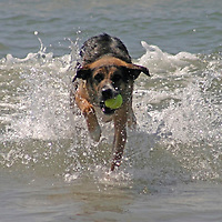 USA, California, Del Mar. Dog fetching tennis ball in ocean at Dog Beach Del Mar.
