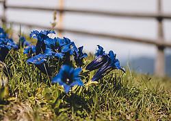 THEMENBILD - der blaue Enzian (Gentiana) ist eine der bekanntesten und markantesten Blumen im Gebirge. Einige Arten werden zur Schnapsgewinnung und Herstellung von Heilmitteln verwendet, aufgenommen am 22. Mai 2020 in St. Veit im Pongau, Oesterreich // the blue gentian (Gentiana) is one of the most famous and distinctive flowers in the mountains. Some species are used for the production of liquor and medicines, in St. Veit im Pongau, Austria on 2020/05/22. EXPA Pictures © 2020, PhotoCredit: EXPA/Stefanie Oberhauser
