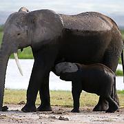 African Elephant, (Loxodonta africana) baby nursing Amboseli National Park. Kenya. Africa.