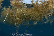 drifting sargassum weed, Sargassum sp. (S. fluitans or S. natans) with entrained blades of turtle grass, Thalassia testudinum, Bahamas ( Western Atlantic Ocean )