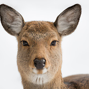 Portrait of a female Japanese spotted deer (Cervus nippon yesoensis), photographed in the snow at Shiretoko National Park, Utoro, Hokkaido, Japan.