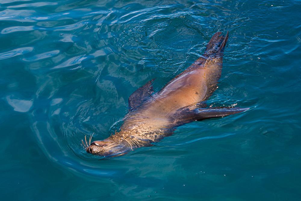 California sea lion (Zalophus californianus), Isla los Islotes, Sea of Cortez, February, Baja, Mexico