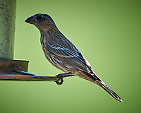 LBJ (Female/Immature House Finch or Brown-headed Cowbird). Image taken with a Nikon D5 camera and 600 mm f/4 VR lens