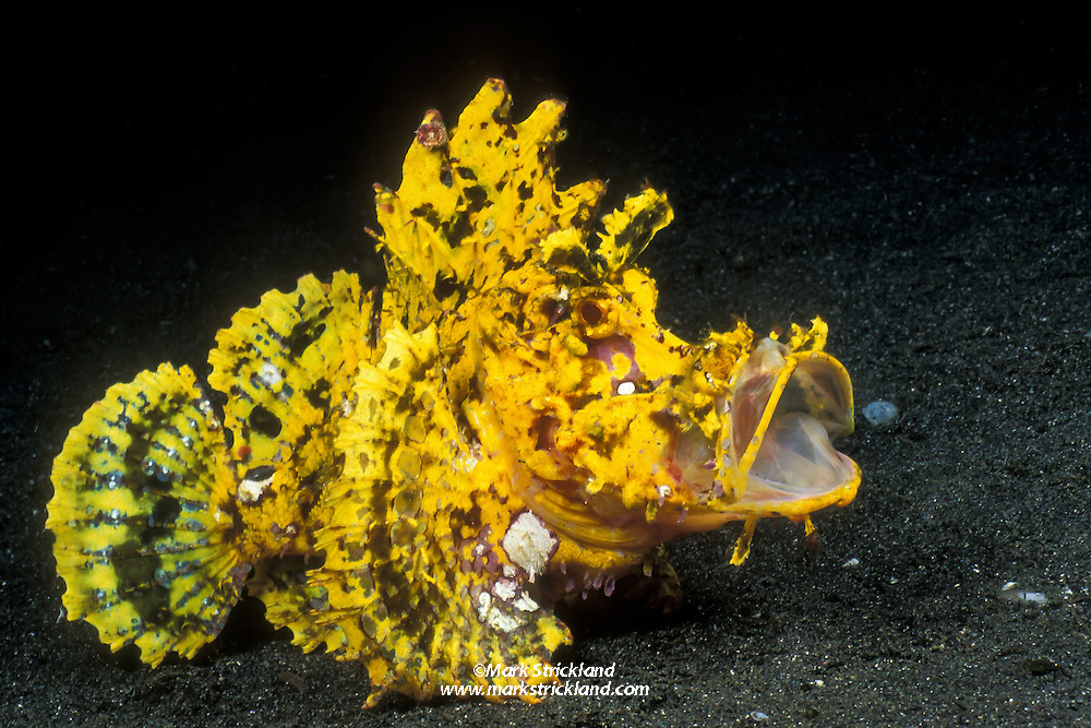 Say Ahh! A rare, brilliant yellow Weedy Scorpionfish, Rhinopias frondosa, flexes its jaws, as if bored. The actual reason for this behavior is probably to send a threatening message to the photographer, who has no doubt worn out his welcome. Scorpionfish also stretch their jaws regularly to stay limber for feeding opportunities. Manado, North Sulawesi, Indonesia, Pacific Ocean