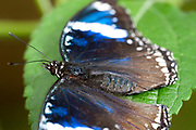 Blue Diadem Butterfly, Hypolimnas salmacis, Africa, resting with wings open, male, blue