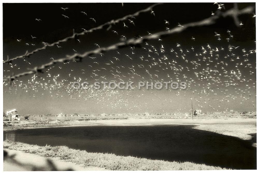 Birds Flying over Bolsa Chica Wetlands in Huntington Beach