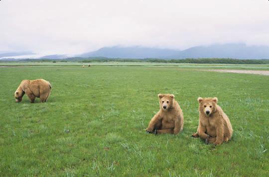 Alaskan Brown Bear, (Ursus middendorffi) Mother forging for grass, cubs sitting on rumps resting. Katmai National Park. Alaska.