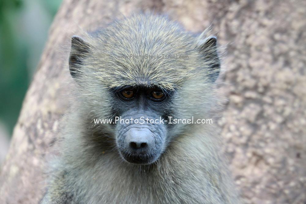Africa, Tanzania, Serengeti National Park, Juvenile Olive Baboon (Papio anubis), also called the Anubis Baboon