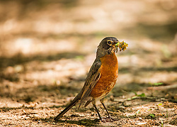 A robin is gathering a quick meal on the trails