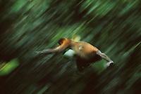 A proboscis monkey, Nasalis larvatus, leaps through the air.