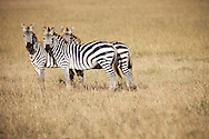 Zebras in the Masai Mara National Reserve, Kenya, Africa